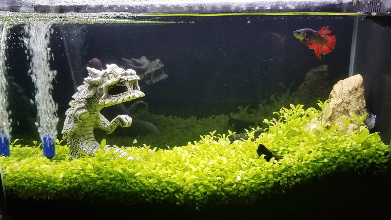 Glossostigma seeds result
