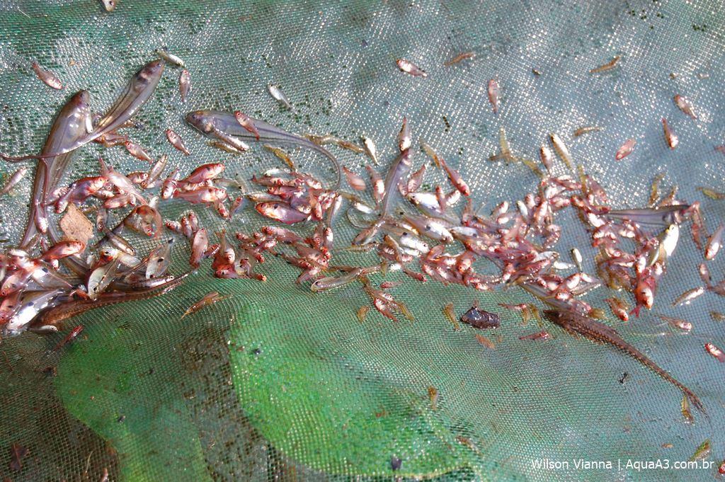 Vários Mato Grosso (Hyphessobrycon eques) e alguns Vesicatrus tegatus, ambos da família Characidae, Ituís-transparentes (Eigenmannia trilineata), além de um Loricariidae e um Gymnotiforme.
