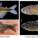 astyanaxs • Astyanax lorien e A. rupestris são os novos lambaris da Bahia