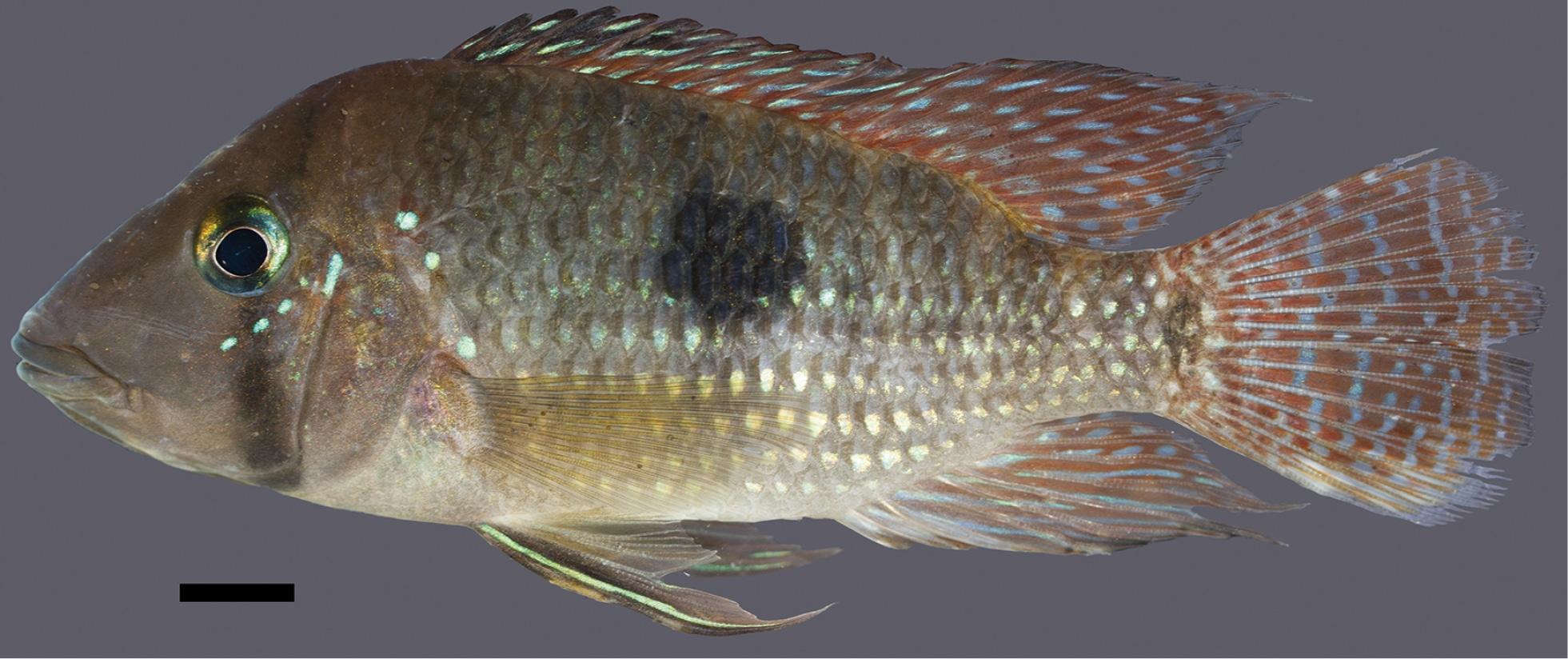 Geophagus multiocellus