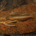 platydoras birindellii • Platydoras birindellii é o novo peixe-gato brasileiro