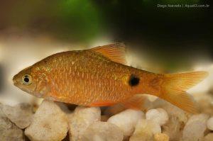 Barbo Rosado - Puntius conchonius