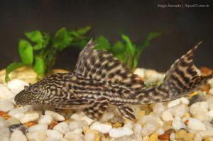 Cascudo Abacaxi - Pterygoplichthys ambrosettii