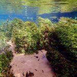 Habitat Heteranthera zosterifolia • Conheça o habitat natural do Tetra Olho-de-Fogo