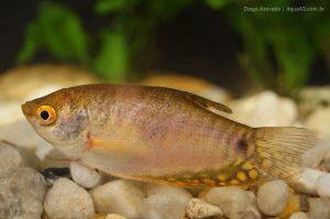 Tricogaster - Trichogaster spp.