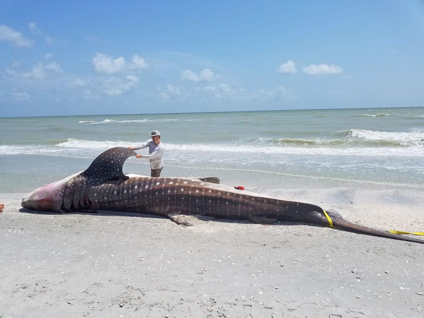 Tubarão Baleia morto. Provável causa é a maré vermelha.