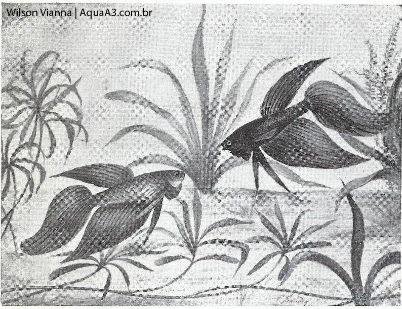 O primeiro Betta do Brasil • O primeiro Betta splendens do Brasil