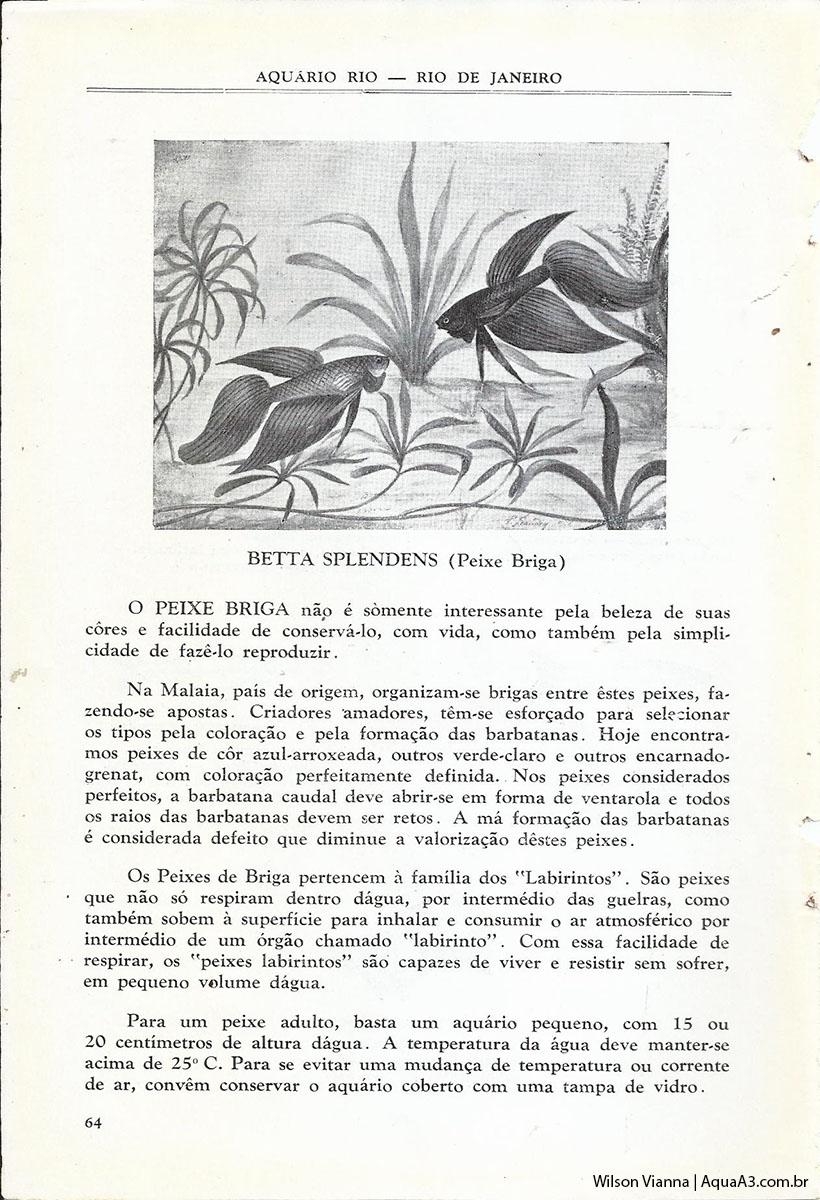 primeiro Betta splendens Brasil