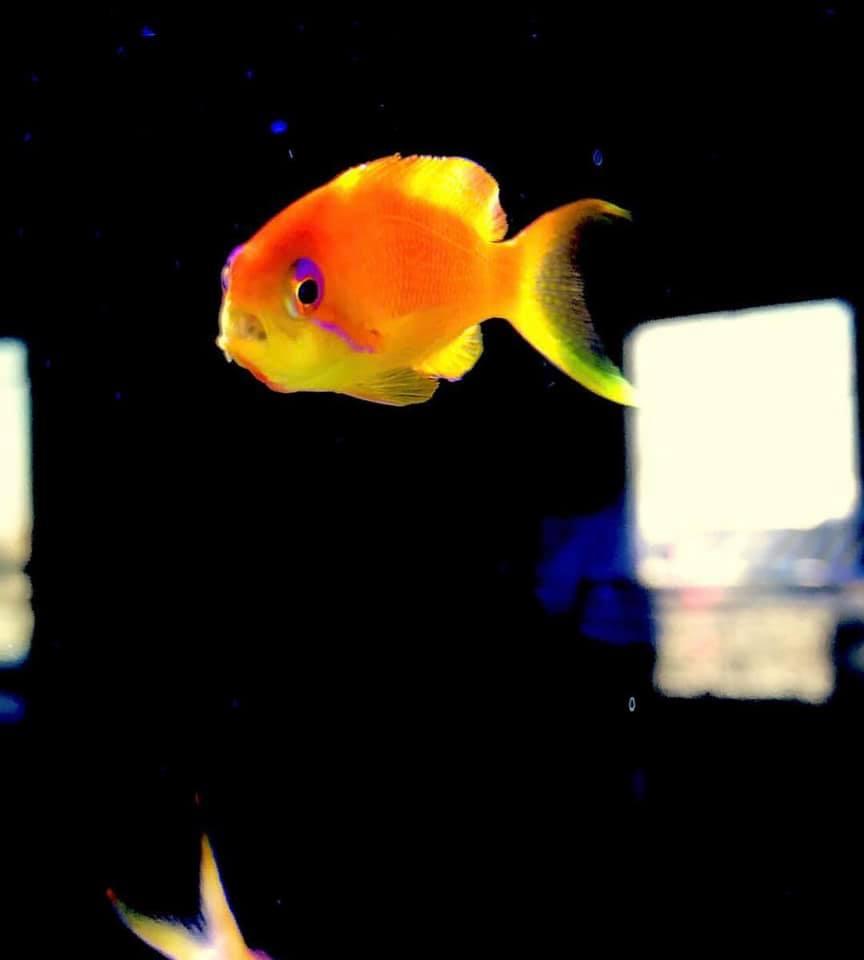 Aquarista encontra Cymothoa em peixe