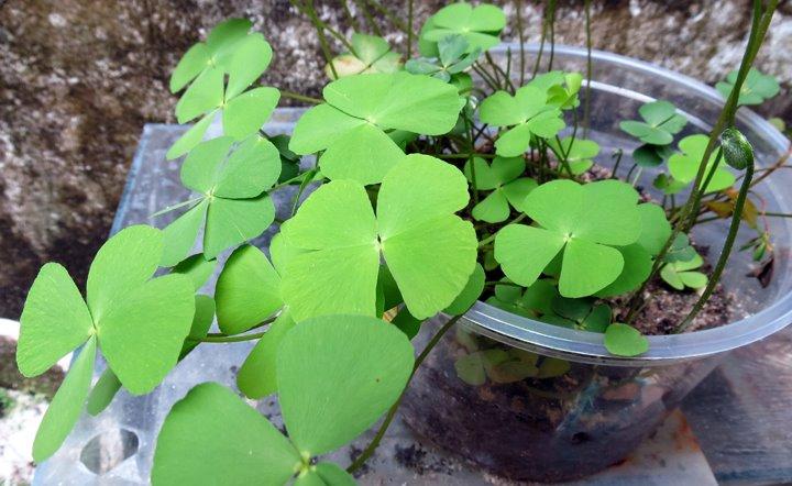 Marsilea emersa • 5 Plantas emersas adaptadas para o aquário