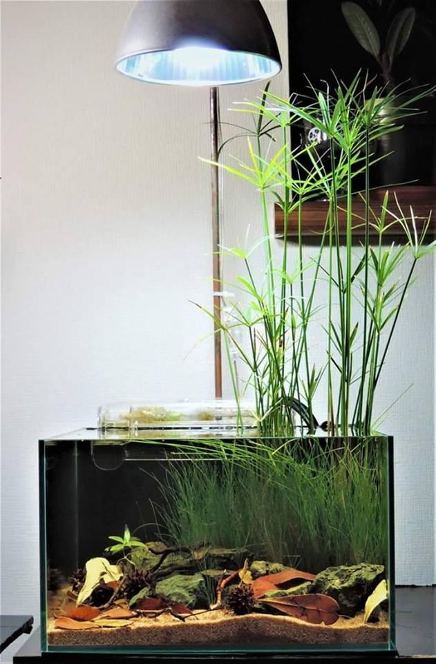 Mini Papiro no aquário