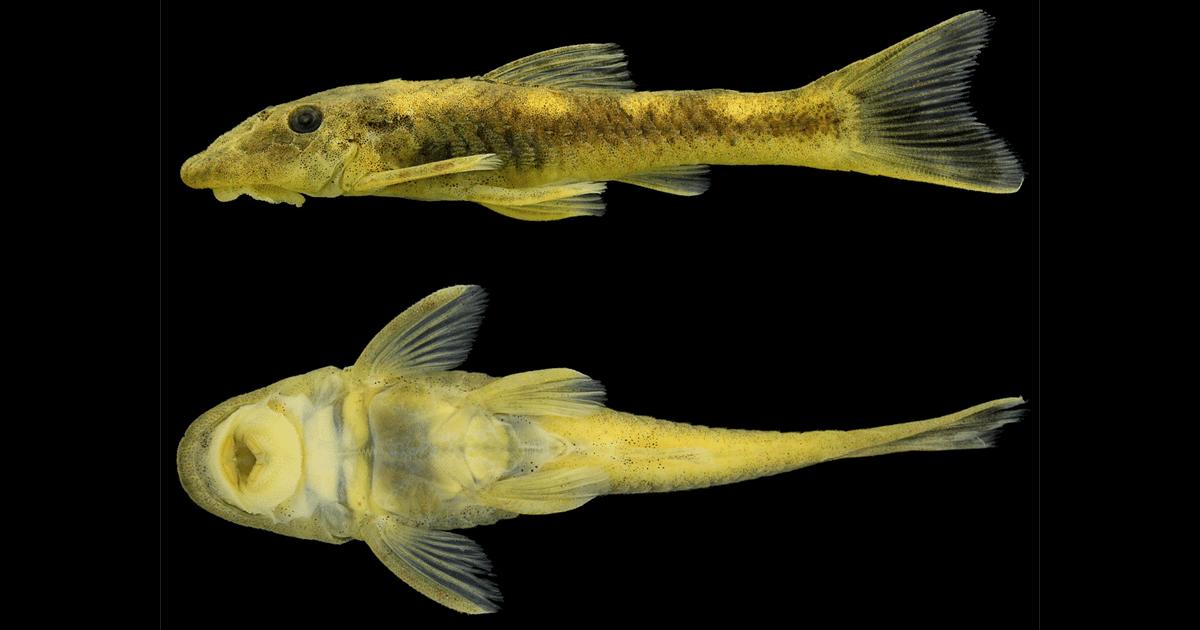 Parotocinclus jacumirim