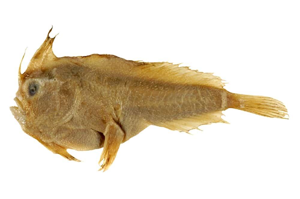 Holótipo da espécie Sympterichthys unipennis, preservada e coletada pelo zoólogo Françóis Perón no século XVII (Imagem: Australian National Fish Collection, CSIRO)