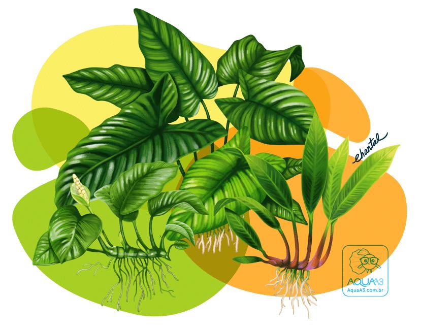 Variedades e espécies do gênero Anubias